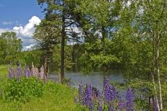 Katrineholm-Lake-and-Wild-Fowers