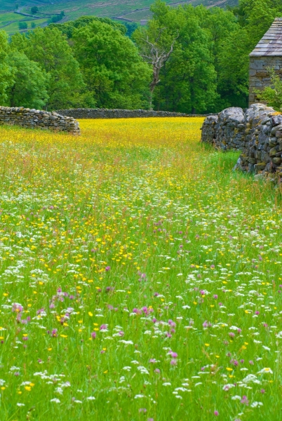 Swaledale Buttercup Meadow